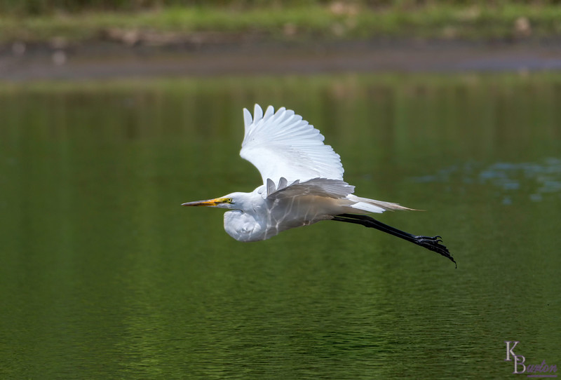 DSC_1385 great white takes flight