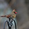 DSC_4141 female cardinal