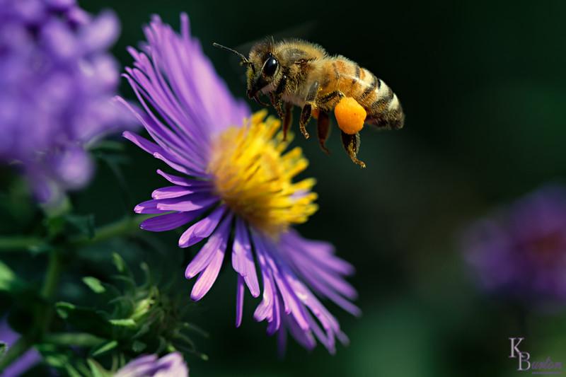 DSC_8499 honeybee