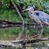 DSC_8513 great blue heron