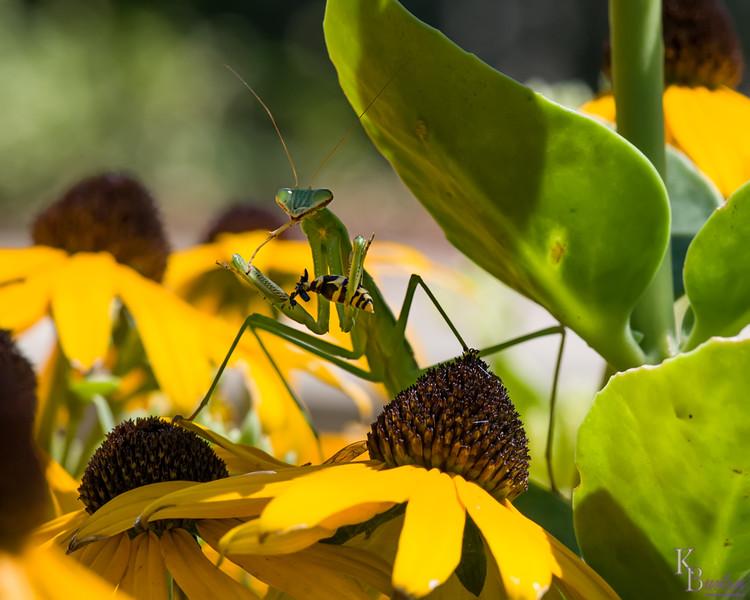 DSC_3022 Praying Mantis