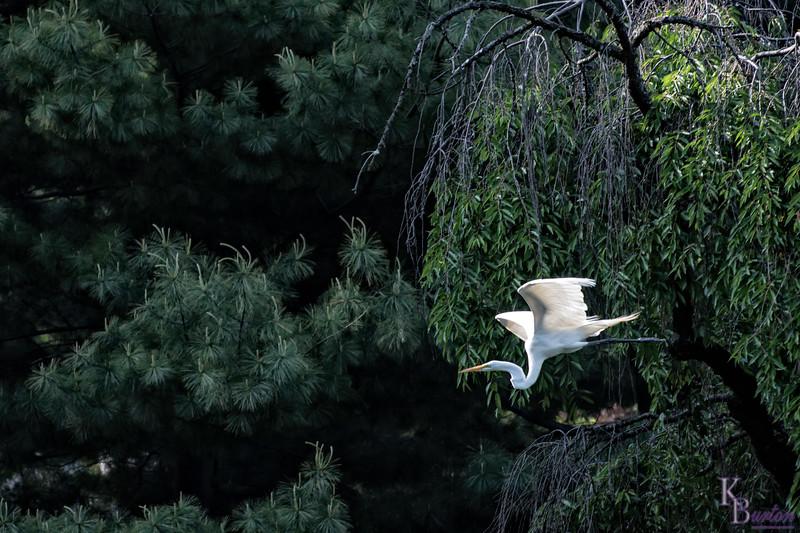 DSC_8936 great white in flight