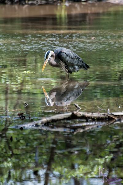 DSC_2138 Great Blue heron