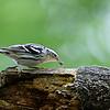 DSC_2033 black and white warbler_DxO