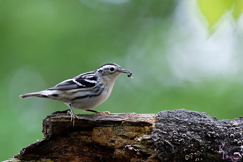 DSC_2077 black and white warbler_DxO