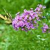 DSC_4449 Swallowtail butterfly