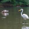 DSC_0527 Great white egret