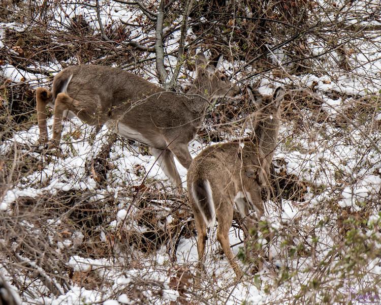 DSC_3668 The deer of Clove Lakes