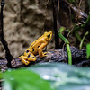 DSC_8738 golden poison dart frog