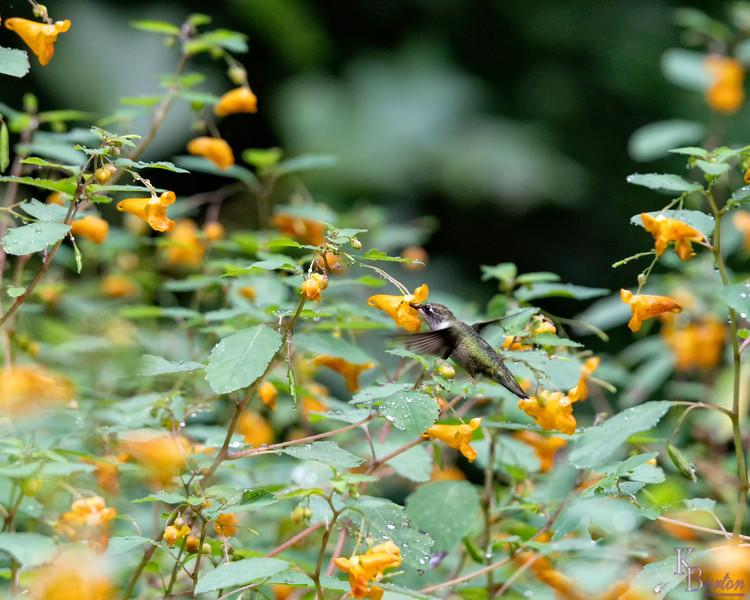 DSC_1274 hummingbird