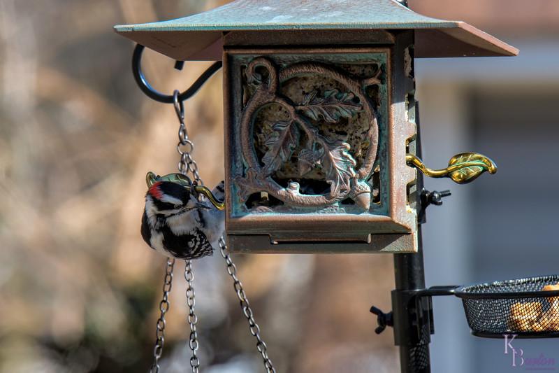 DSC_2250 backyard bird feeder