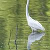 DSC_9336 Great white