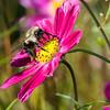 DSC_9031 bumble bee