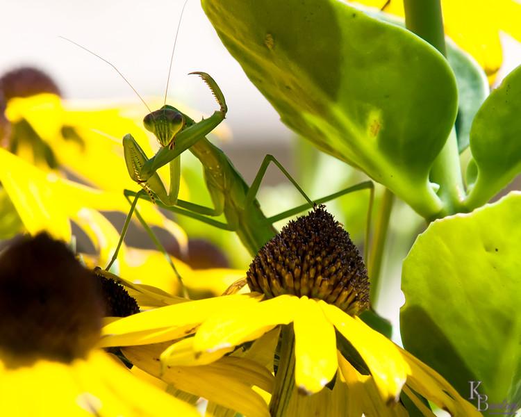 DSC_3093  Praying Mantis