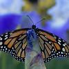 DSC_5752 monarch_DxO