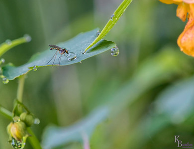 I came here at the crack of dawn to capture amongst other things dew clinging to the jewel weed I saw growing here the other day, as this plant attracts dew like no other at the lake. As I was getting my shots I noticed this teeny guy land on the plant next to me and grab some liquid refreshment. So I swung my tripod head around and snapped this fortuitous shot.