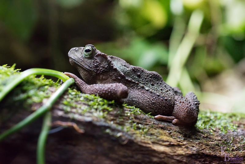 DSC_6610 evergreen toad