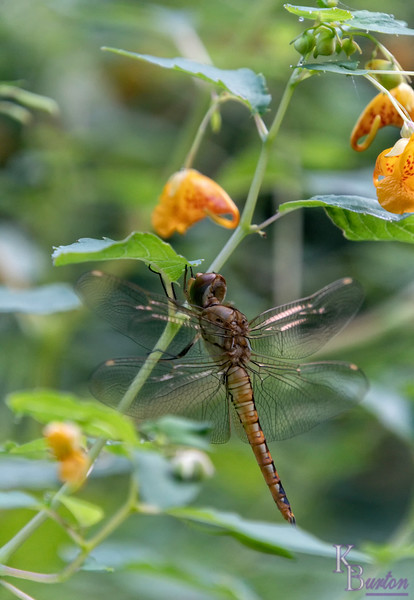 DSC_9357 dragonfly