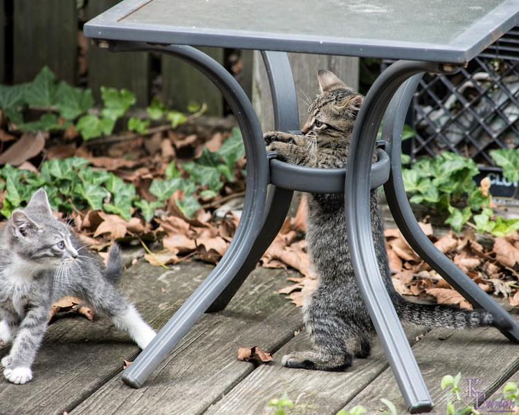 DSC_6016 kitten play