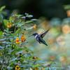 DSC_5170 hummingbird