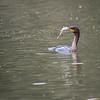 DSC_6156 cormorant