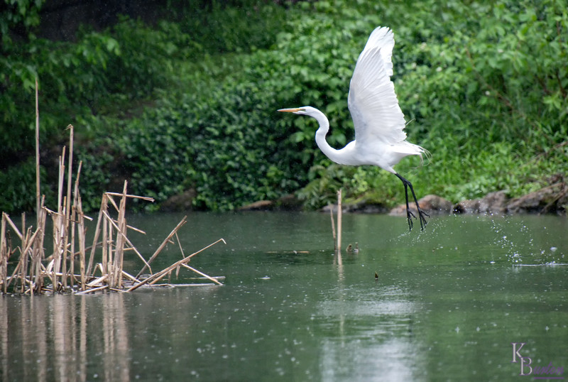 DSC_9336 great white heron