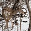 DSC_4031 the deer of Clovve Lakes