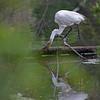DSC_2950_great white egret_DxO