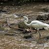 DSC_6494 White Egret