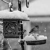 DSC_3417 feeding durning the snow