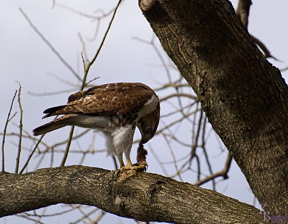 DSC_8701 peregrine falcon_DxO