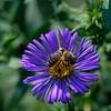 DSC_8392 foraging fo nectar