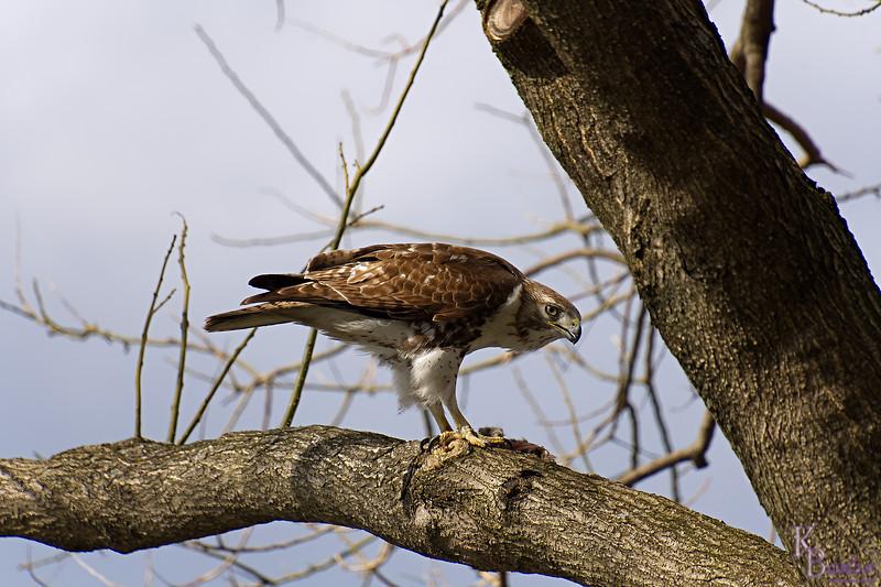 DSC_8767 peregrine falcon_DxO
