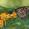 DSC_2989 monarch