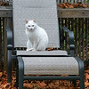 "By the time I got back from Bermuda the leaves had fallen in mass around my house, and my backyard furniture was covered in a sea of orange foliage. I brushed the leaves off the seats and tables, but before I could get rid of them, I spotted this cat one afternoon out of my kitchen window. It's one of the many cats in the neighborhood that just love my backyard. The thick sliding glass door was really dirty on the outside, and if I went out to clean it first (another item on my ""TO DO"" list) the cat would have jumped away, so the shot is possibly a tick less sharp than I would have liked, despite using a tripod. But that's what I get for not keeping a spotless house!"