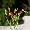 DSC_7658_hummingbird