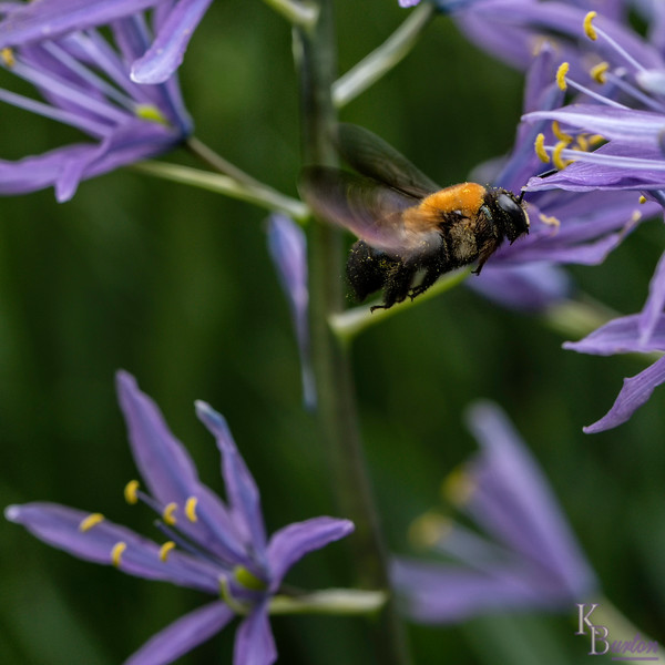 DSC_3190 bumblebee
