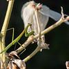DSC_2257 baby mantis