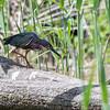 DSC_7613 green heron