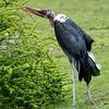 DSC_3146 Stork