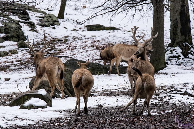 DSC_8539 Pere David's deer