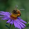 DSC_8460 honeybee