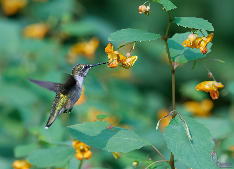 DSC_6321 the hummers of Clove lakes_DxO