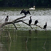 DSC_3913 cormorants_DxO