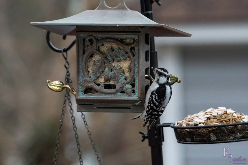 Nice to see a female woodpecker has come to join the male at my decorative little suet feeder.