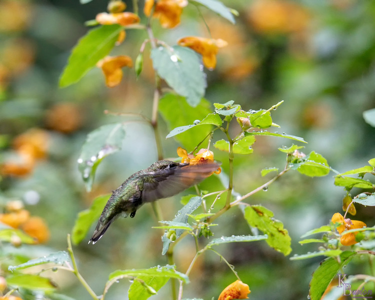 DSC_1399 hummingbird