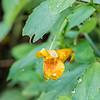 DSC_4886 jewel weed