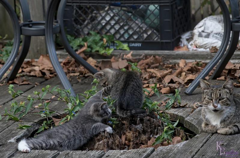 DSC_7255 kitten play