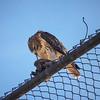 Eagle vs Pigeon