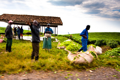 Tea Harvest near Nyungwe National Park, Rwanda, 2010